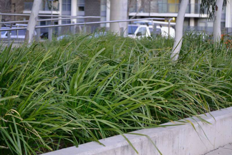 Lomandra softens hard surfaces and is ideal for under planting trees