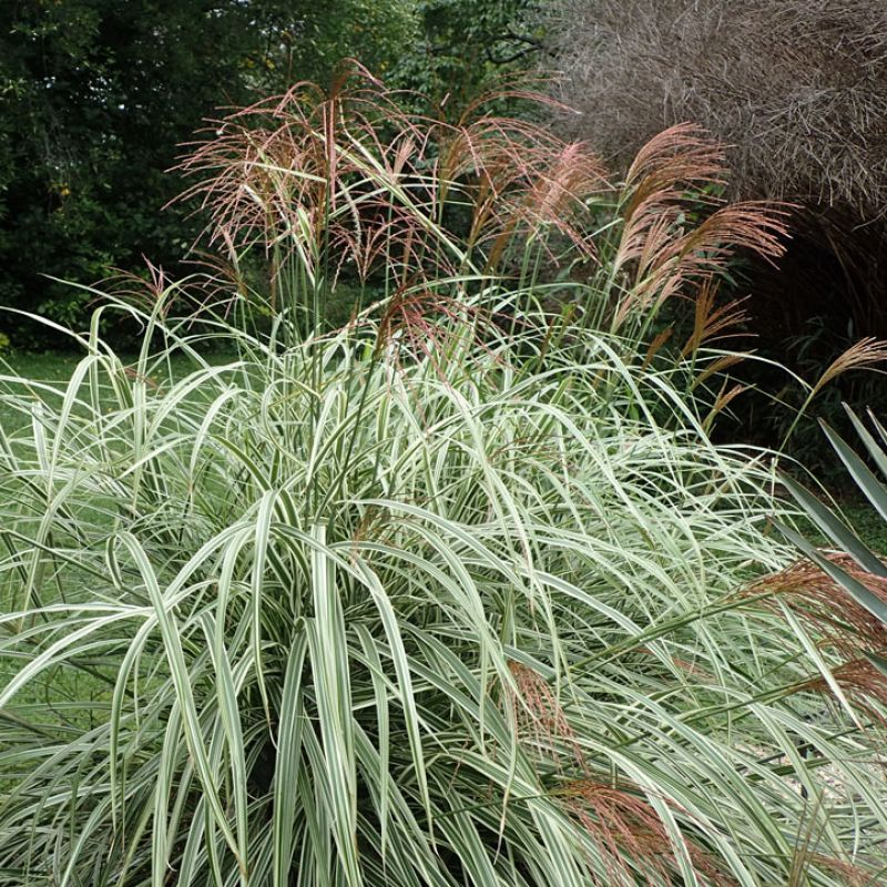 Silver Grass adds a splash of colour in any garden
