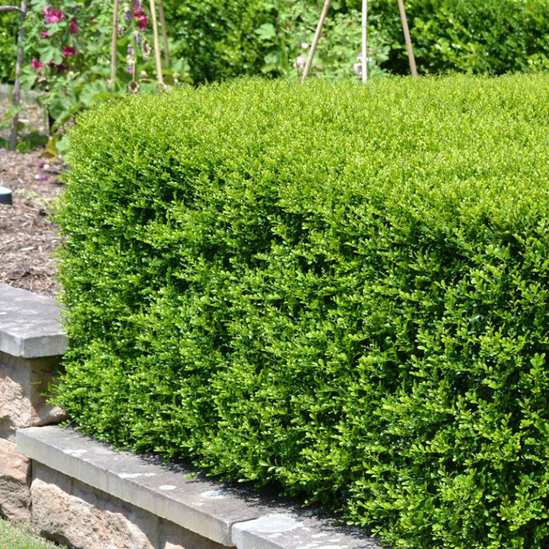 Murraya Min-a-Min creates is ideal for creating small compact tight knit hedges