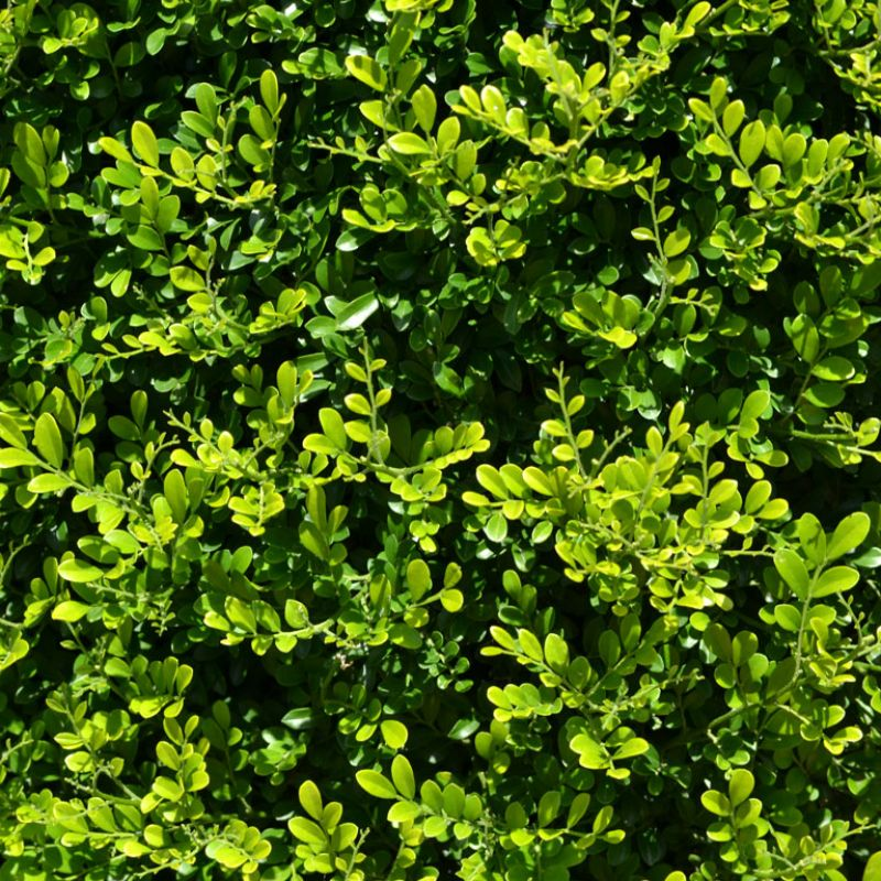 Evergreen foliage that is soft and feathery in appearance