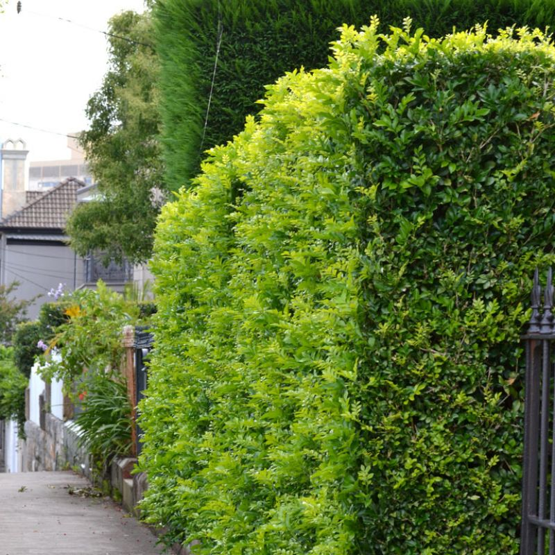 Murraya makes an ideal formal hedge