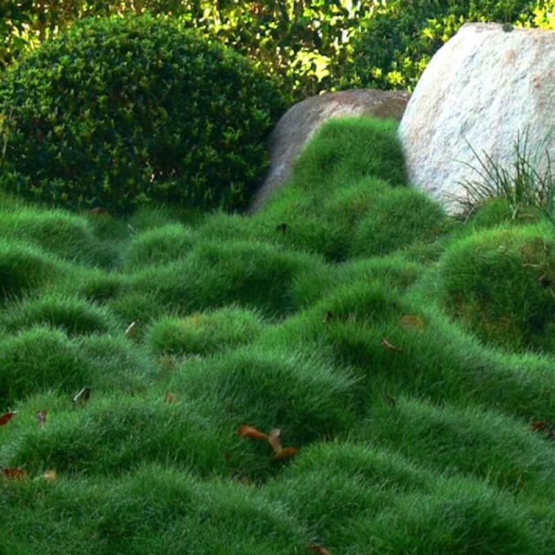 Buy no mow zoysia grass on the plant hub for Japanese mounding grass