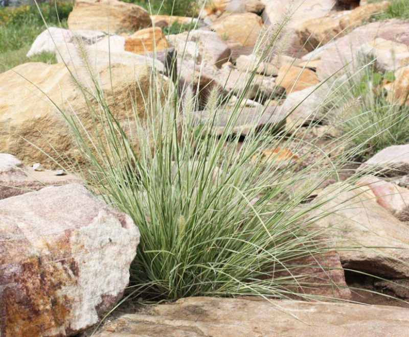 Pennstripe with its variegated foliage adds highlights to a usually green landscape