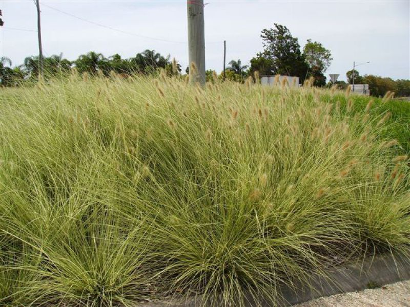 Pennisetum `Pennstripe` makes a real statement when mass planted