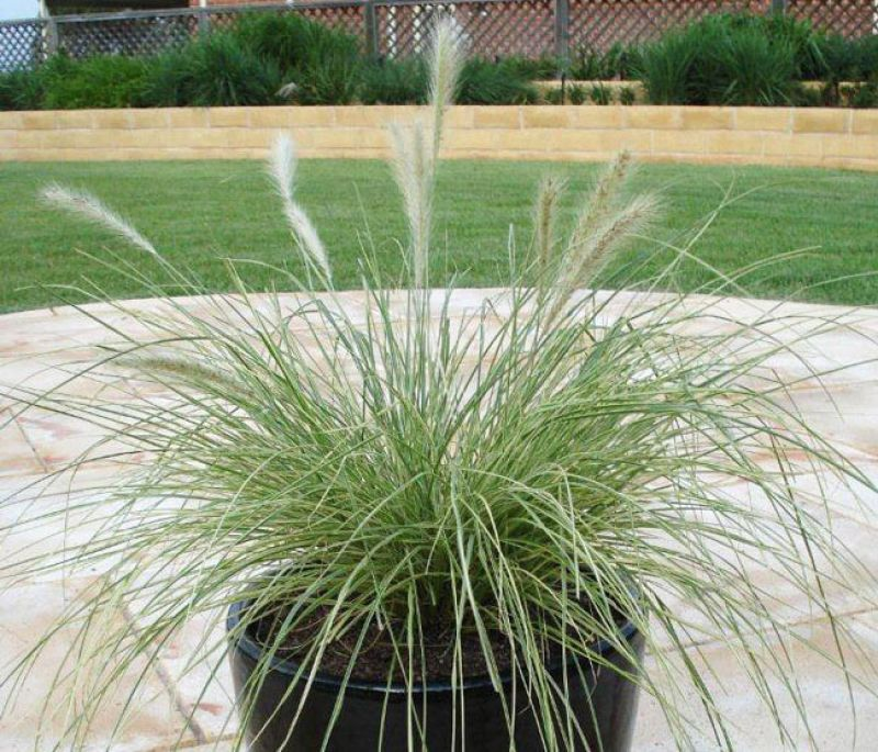 The variegated foliage of Pennisetum `Pennstripe` glows in the garden on a moonlite night