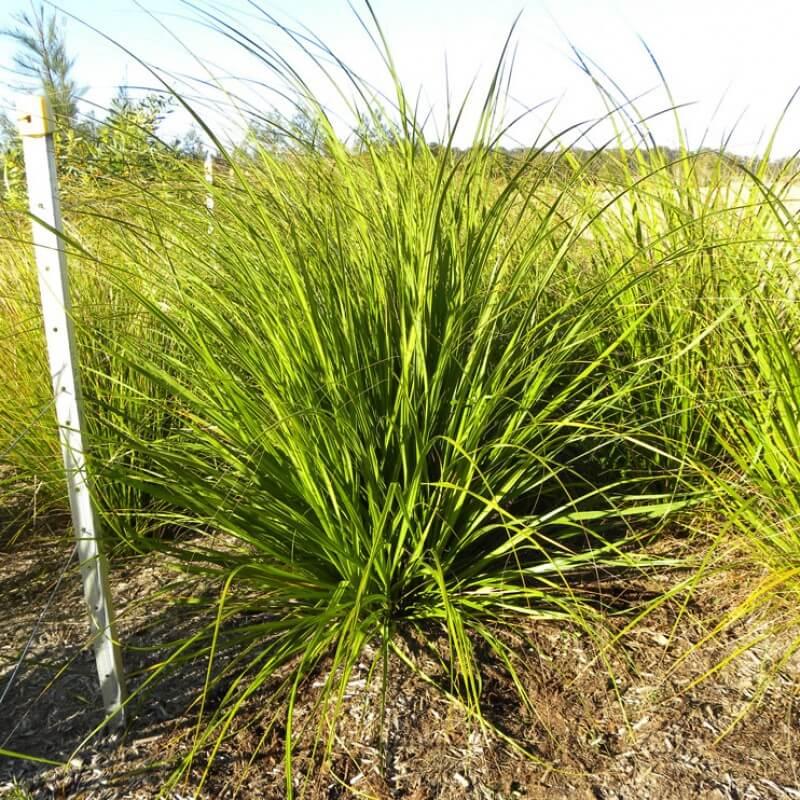 Gahnia sieberiana work well mass planted.