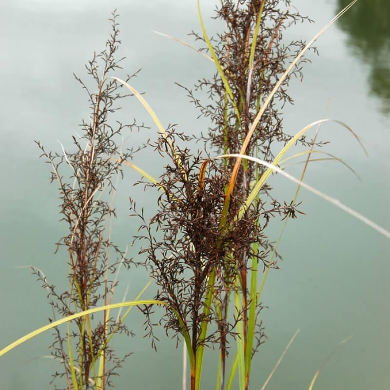 Gahnia sieberiana with large black seed heads.