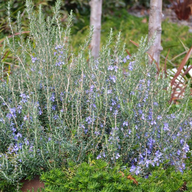 Rosemary Blue Lagoon make a great low maintenance hedge