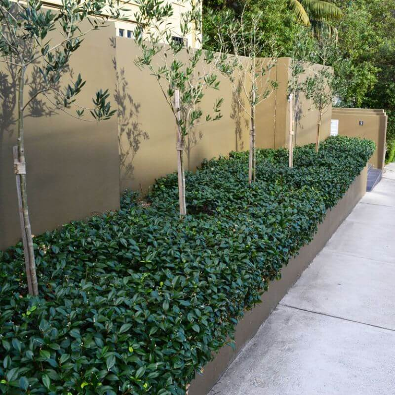 Star Jasmine makes a great low groundcover