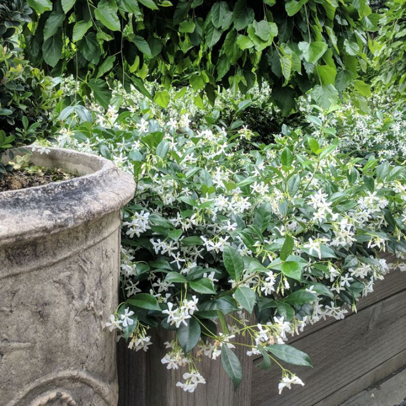 Star Jasmine can be trained to grow on a wall