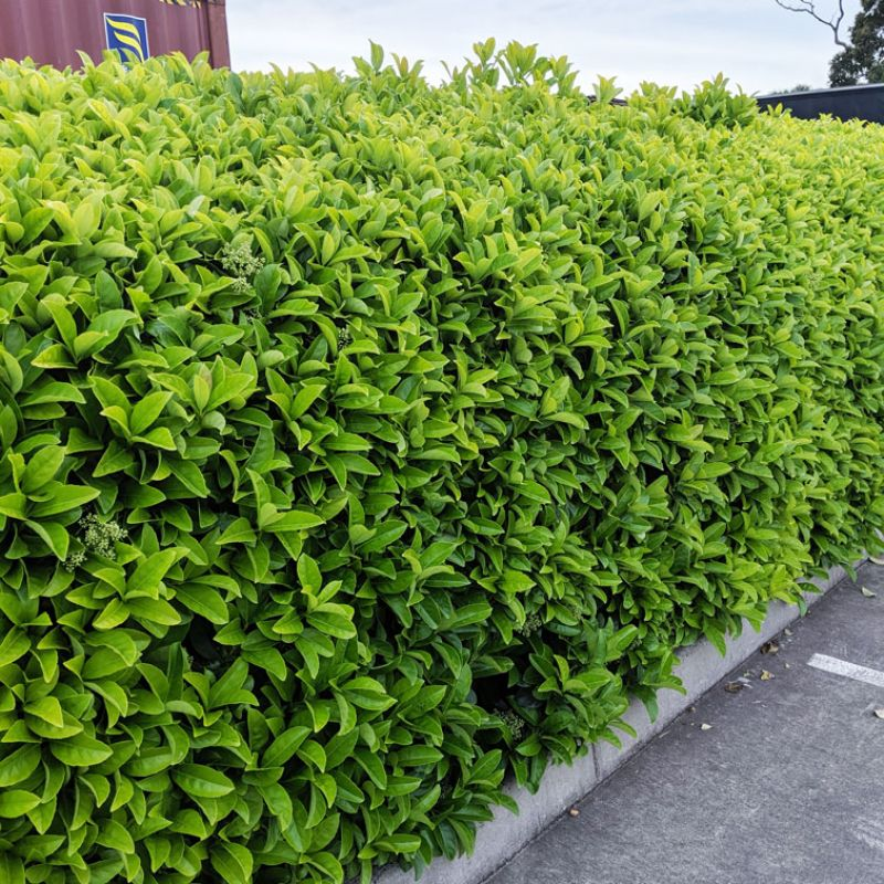Viburnum clipped to form a dense hedge