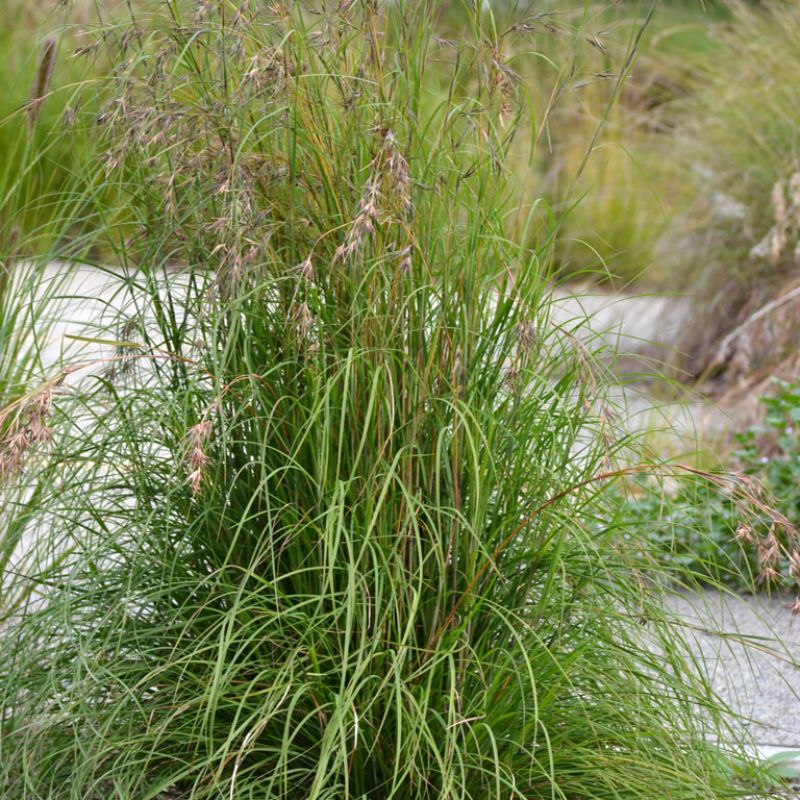 `Big Blue` Kangaroo Grass is excellent when mass planted as a back drop. The blue foliage will contrast with silver, green, yellow and red foliage and flowers