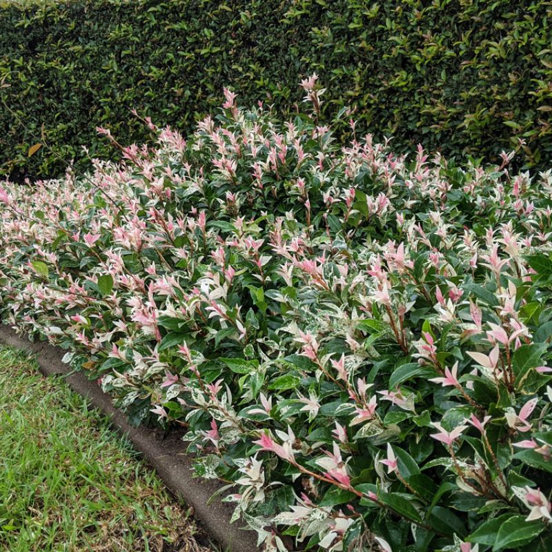 Trachelospermum jasminoides `Tri-color` as a low growing ground-cover in front of Japanese Box hedge