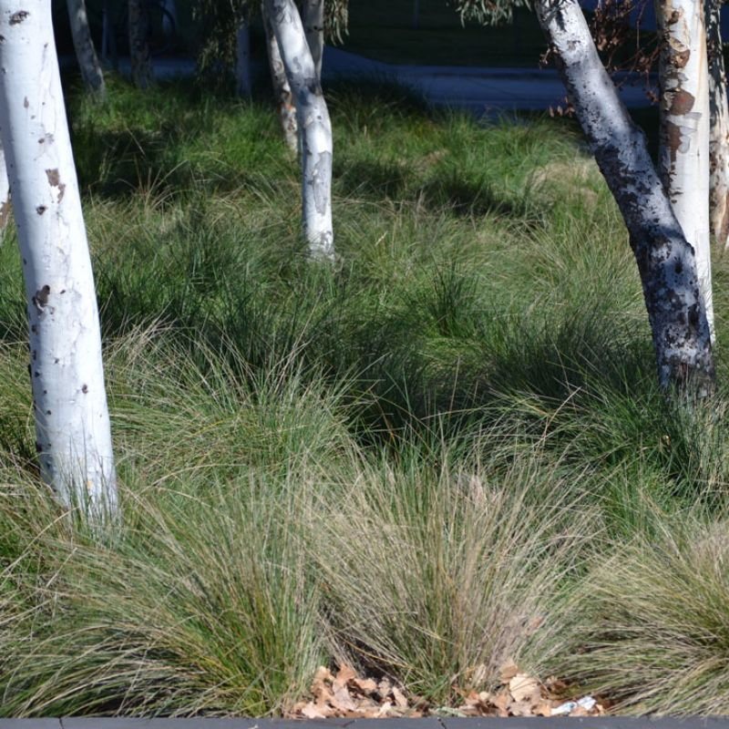 Tussock Grass as an understory planting to native trees