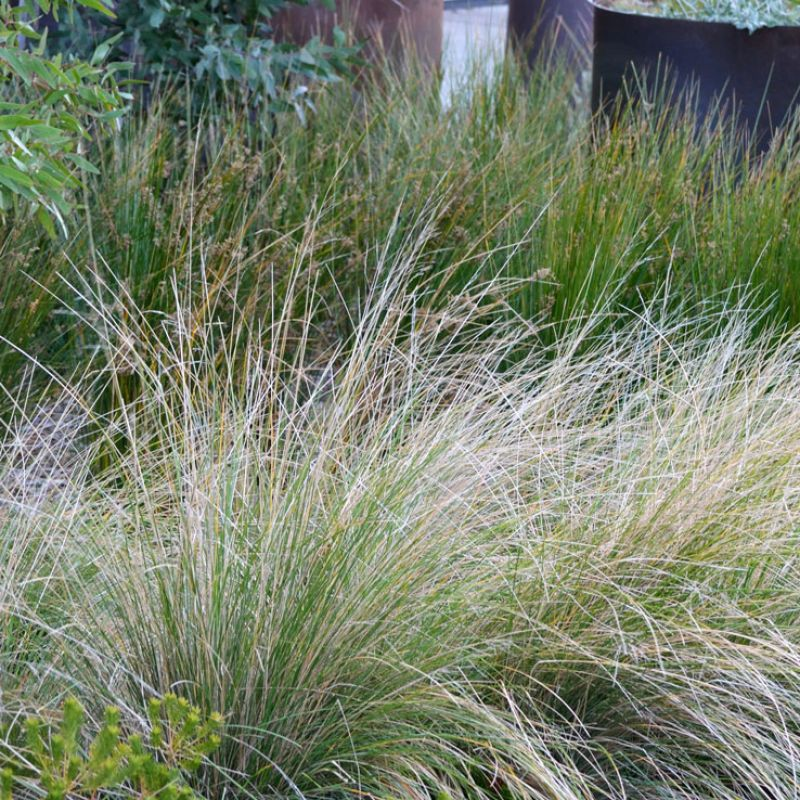 Tussock Grass is perfect for creating a natural looking garden