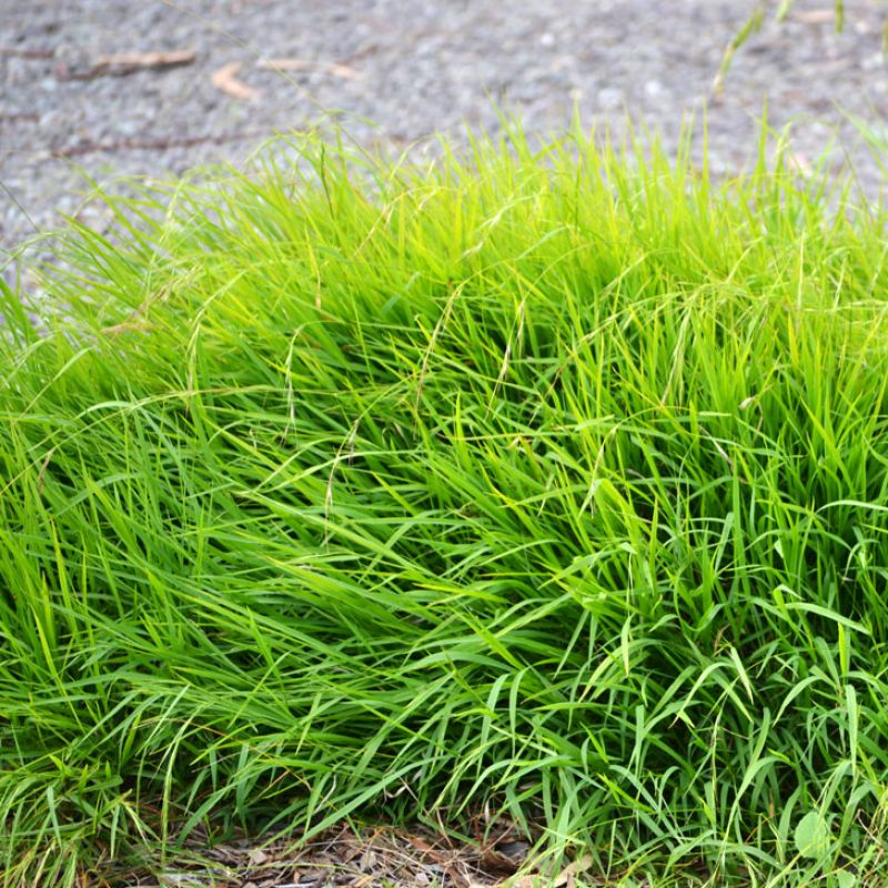 Microleana slowly spreads to form a dense, low growing grass. When planted enmass Weeping Grass will develop into a native lawn