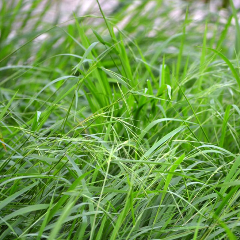 Weeping Grass gets its name from the weeping habit of its flowers